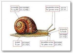 Affichage-anatomie-de-lescargot