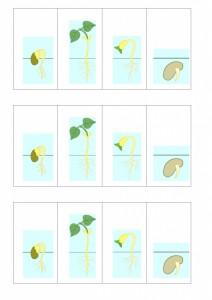 Portfolio 1P - la germination du haricot a remettre dans l'ordre.22